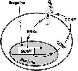 ibogaine GDNF autoregulation loop